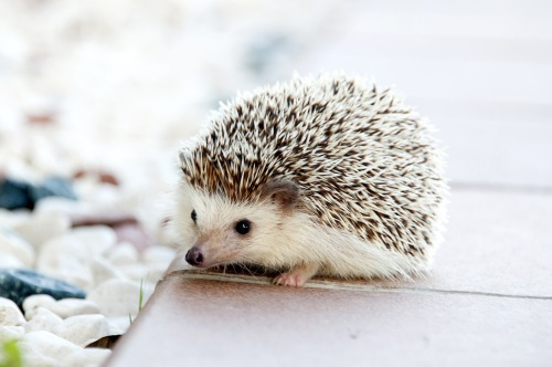 Hedgehog! Because you deserve more in the way of visual aids than one crying gangster baby